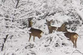 caprioli neve