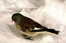 uccellino neve cerca cibo
