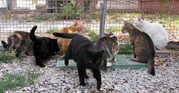 coriano_gattile
