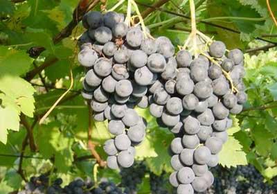 Vigne Rimini viticoltura